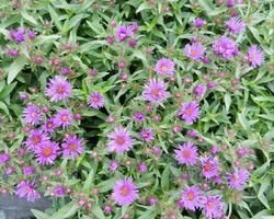 Aster novi-angliae Purple Dome - Brain-sur-l'Authion - Kastell