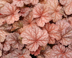 Heuchera Berry Smoothie - Brain-sur-l'Authion - Kastell