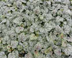 Heuchera Green Spice - Brain-sur-l'Authion - Kastell