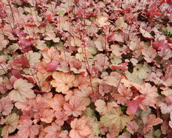 Heuchera Vienna - Brain-sur-l'Authion - Kastell