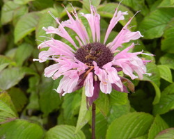 Monarda Beauty of Cobham - Brain-sur-l'Authion - Kastell