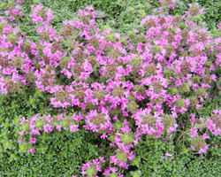 Thymus praecox Red Carpet - Brain-sur-l'Authion - Kastell